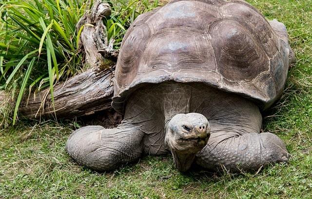 żółw słoniowy wymarłe