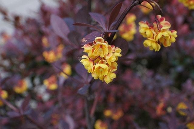 śmierdzący berberys zwyczajny kwiaty