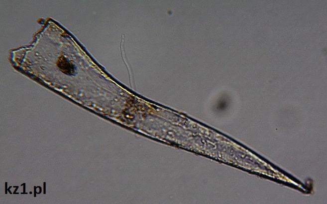 kawałek rośliny pod mikroskopem