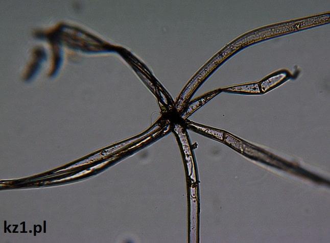 częśc rośliny pod mikroskopem