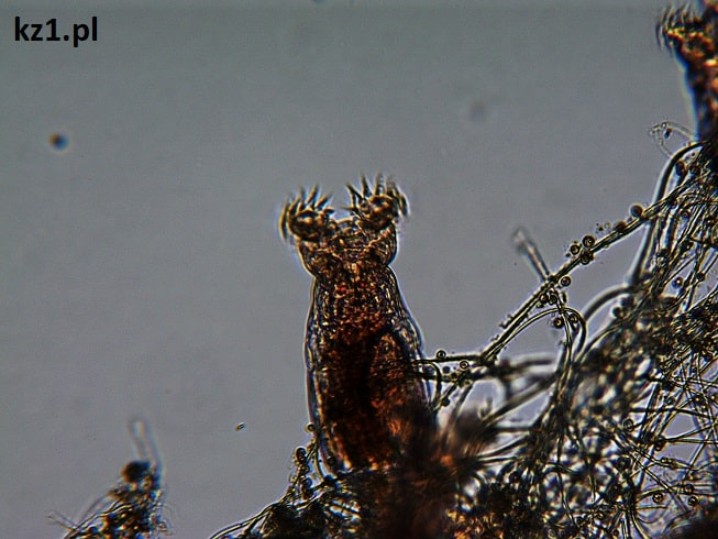 wrotka pod mikroskopem