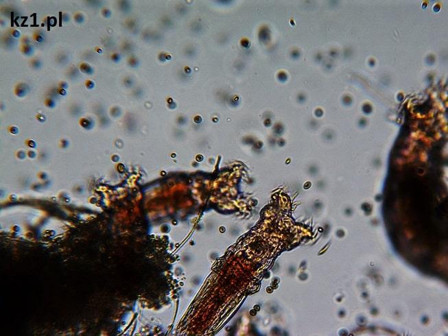dwie wrotki pod mikroskopem