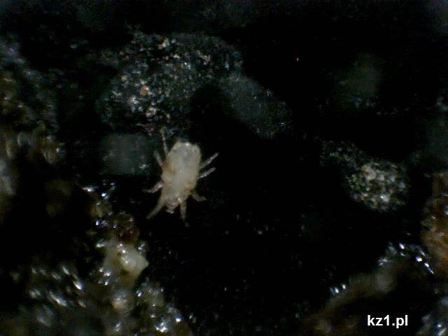 ziemia z doniczki pod mikroskopem - robak