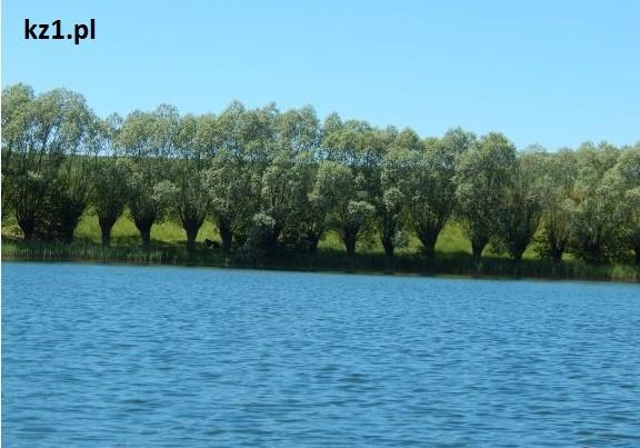 rząd drzewek nad jeziorem