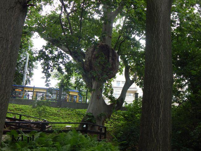 drzewo ogród zoobotaniczny