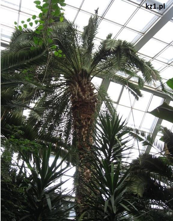palma w palmiarni