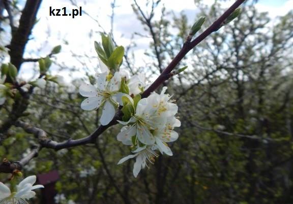 kwitnąca jabłonka
