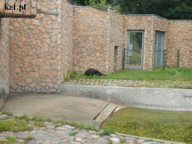 niedźwiedź w toruńskim zoo