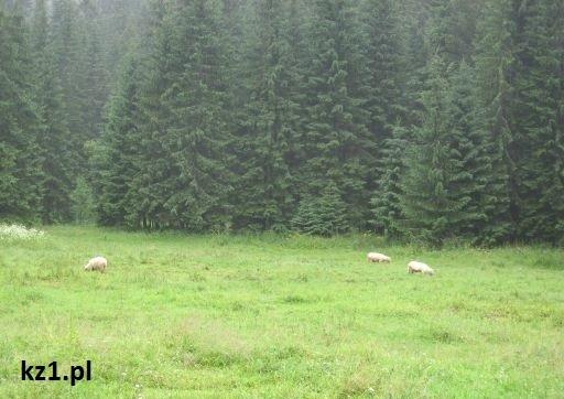 owieczki na hali