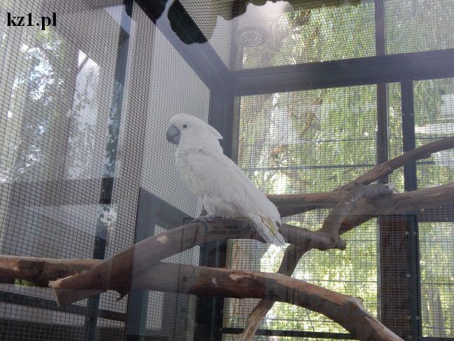 papuga biała