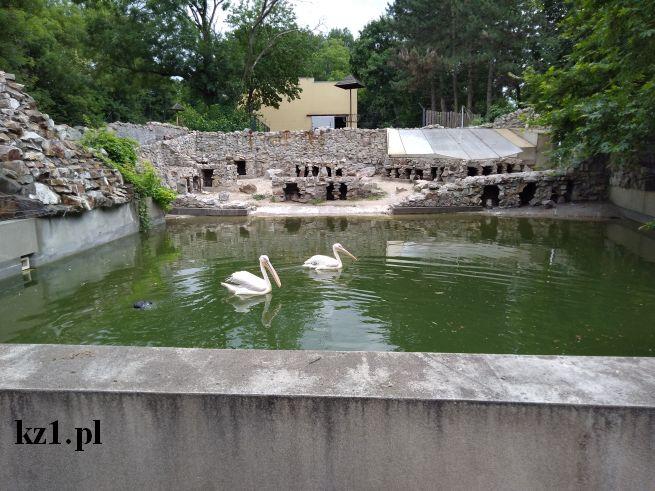 pelikany pływające z pingwinem w zoo w płocku