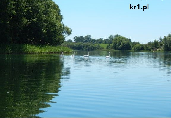 rodzina łabędzi płynąca po jeziorze