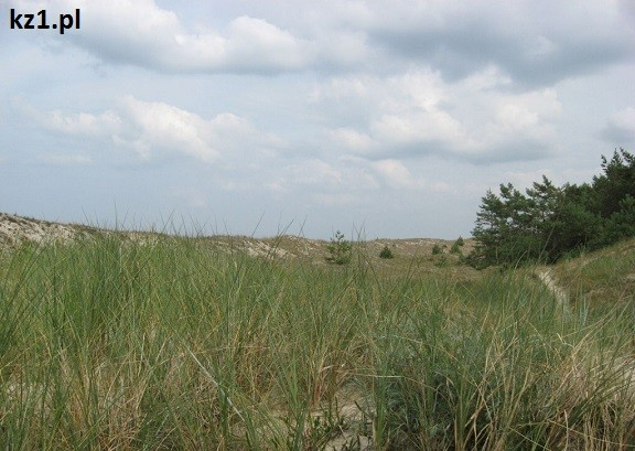 roślinność na wydmach
