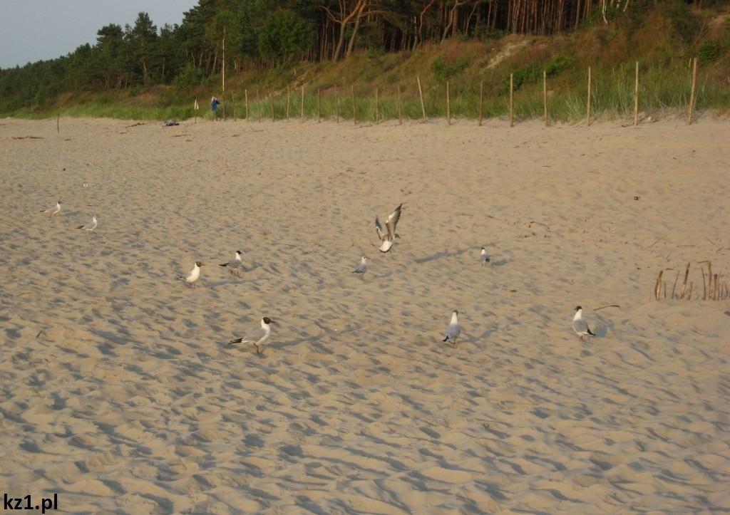 mewy na plaży w stegnie