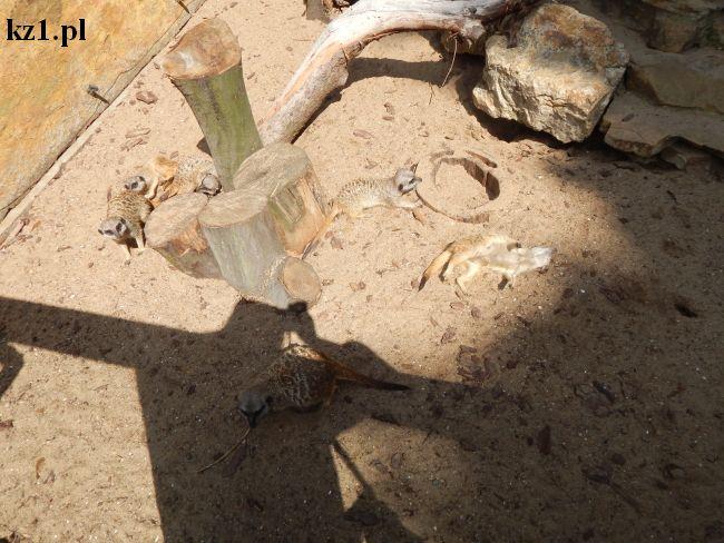 surykatki w zoo w toruniu