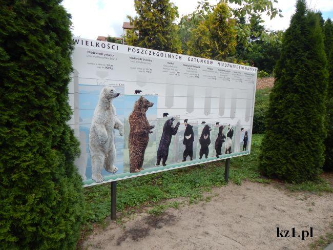 wielkość niedźwiedzi
