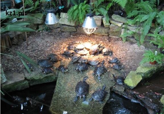 żółwie w palmiarni
