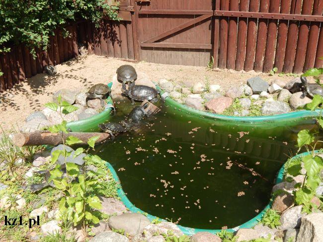 żółwie wodne podczas kąpieli