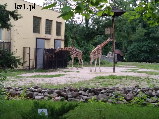 żyrafy zoo płock